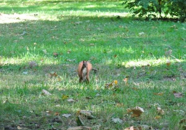 Wiewiórka 1